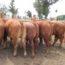 Carne uruguaya de exportación