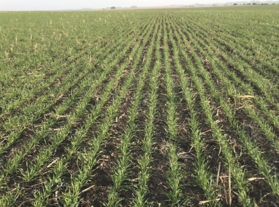 Las precipitaciones que se esperaban eran claves para evitar pérdidas de macollos y seguir el desarrollo sin resignar rinde. Es posible que haya mermas en trigo en la zona núcleo.